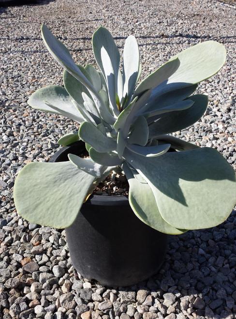 Cotyledon orbiculata 'Silver Dollar' 3g
