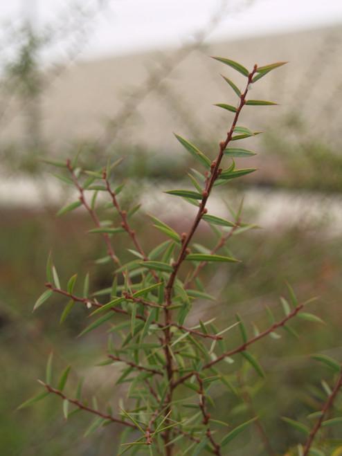 Acacia siculiformis 5g