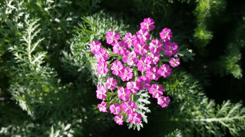 "Achillea millefolium 'Pink Grapefruit' PPAF 4"""