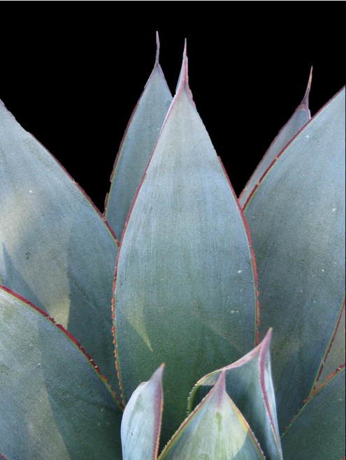 Agave 'Blue Glow' 1g