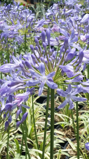 Agapanthus 'MP01' Pacific Sunset PP26,513 1g