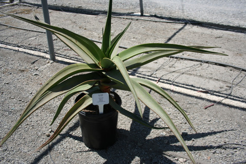 Aloe 'Goliath' 15g