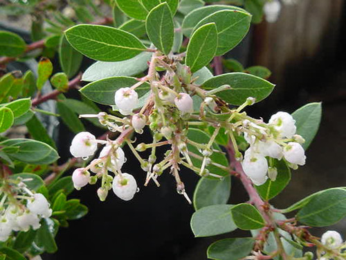 Arctostaphylos densiflora 'Howard McMinn' 1g