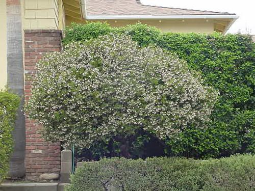 Arctostaphylos densiflora 'Howard McMinn' 5g