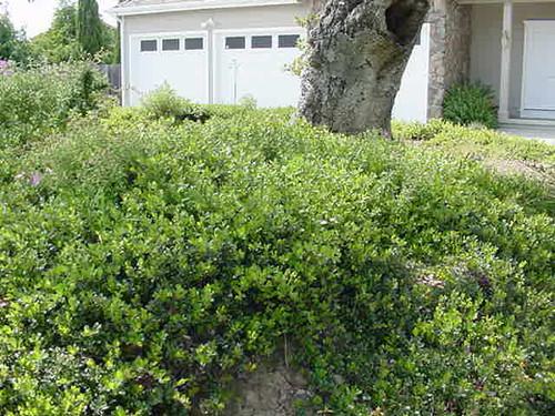 Arctostaphylos densiflora 'Sentinel' 1g