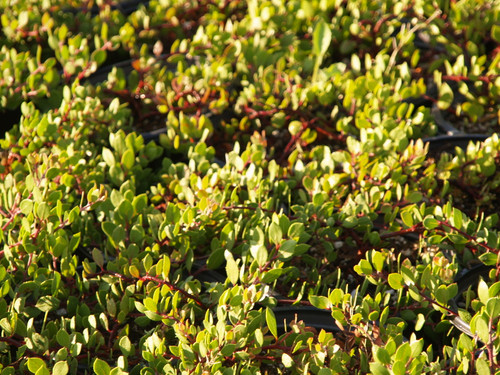 Arctostaphylos hookeri 'Monterey Carpet' 1g