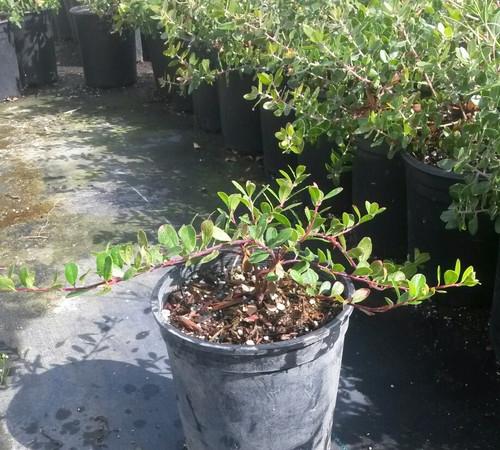 Arctostaphylos uva-ursi 1g
