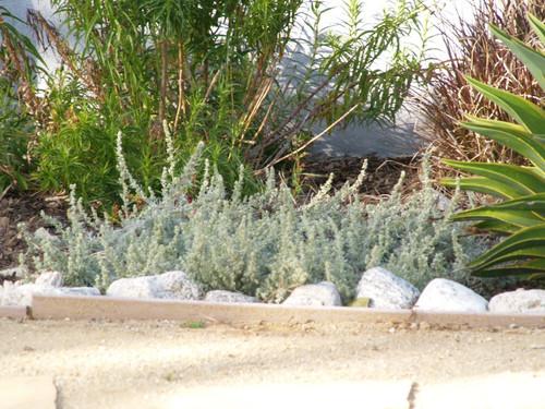 Artemisia pycnocephala 'David's Choice' 1g