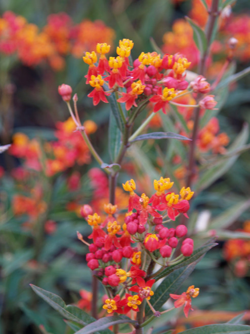 Asclepias curassavica 'Red Butterfly' 1g