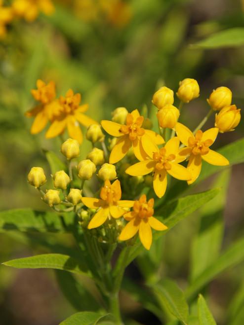 Asclepias curassavica 'Silky Gold' 1g