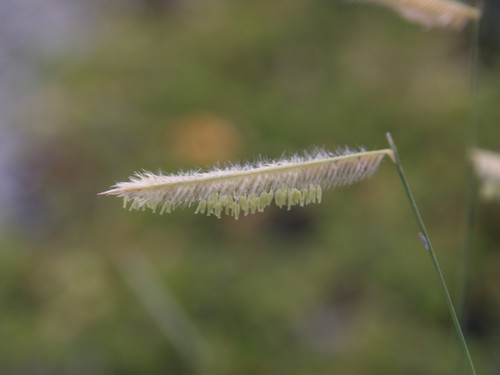 Bouteloua gracilis 'Blonde Ambition' (Patented) 1g