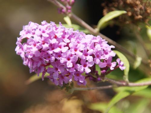 Buddleia 'Buzz™ Lavender' 5g
