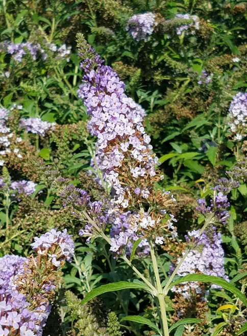 Buddleia Buzz™ Sky Blue 1g