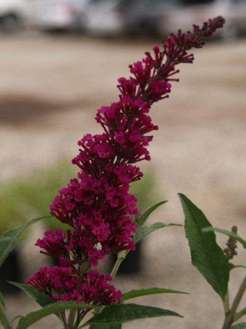 Buddleia 'Buzz™ Velvet' 1g