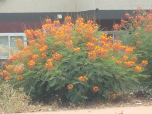 Caesalpinia pulcherrima 1g