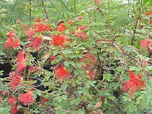 Calliandra californica 1g