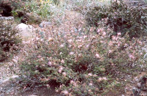 Calliandra eriophylla 5g