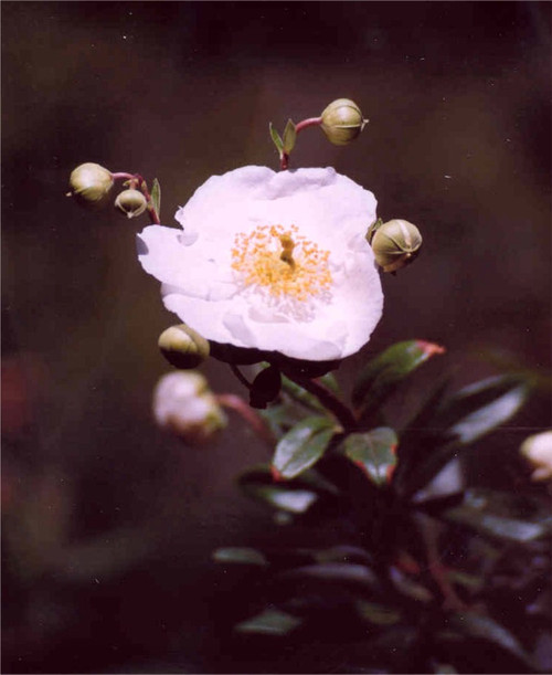 Carpenteria californica 1g