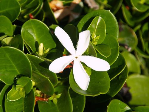 Carissa macrocarpa 'Boxwood Beauty' 1g
