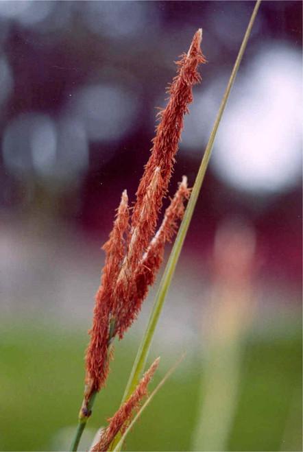 Carex spissa 1g