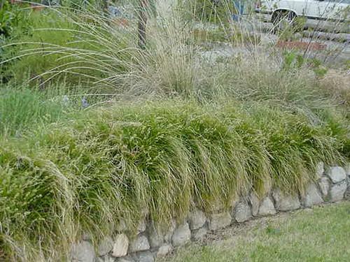 Carex tumulicola (C. divulsa) RP