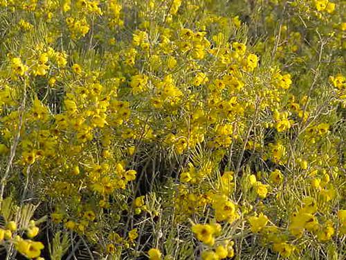 Cassia artemisioides (Senna artemisioides) 1g