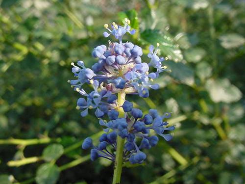 Ceanothus 'Frosty Blue' 1g