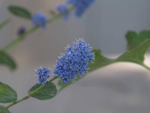 Ceanothus 'Owlswood Blue' 1g