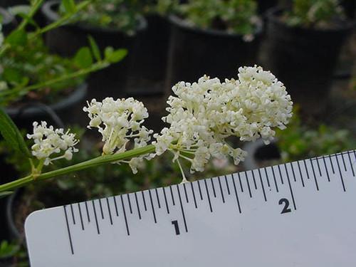 Ceanothus thyrsiflorus 'Snow Flurry' 5g
