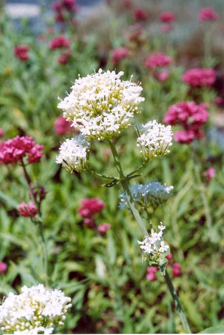 "Centranthus ruber 'White' 4"""
