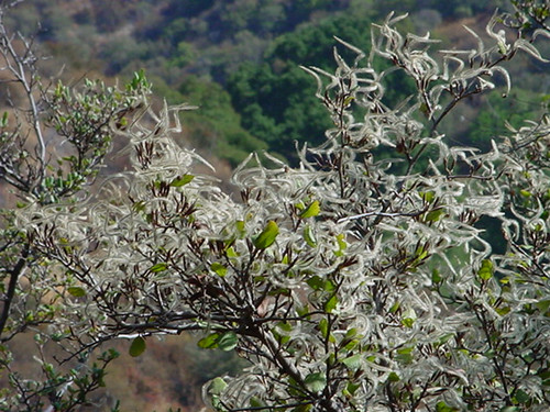 Cercocarpus betuloides 1g