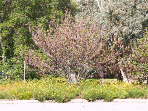 Cercis occidentalis 15g