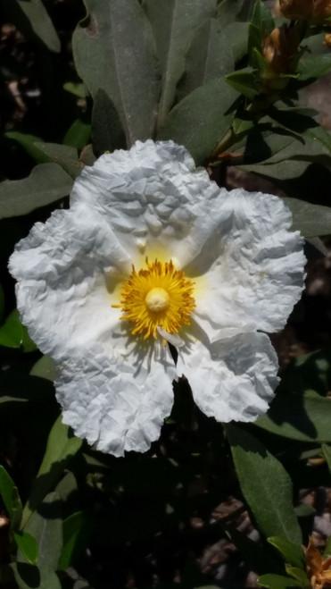 Cistus 'Bennett's White' 1g