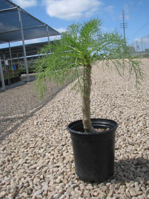 Coreopsis gigantea 1g