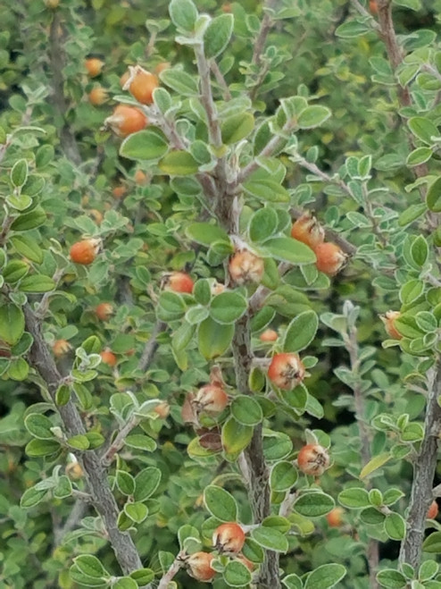 Cotoneaster glaucophyllus 1g