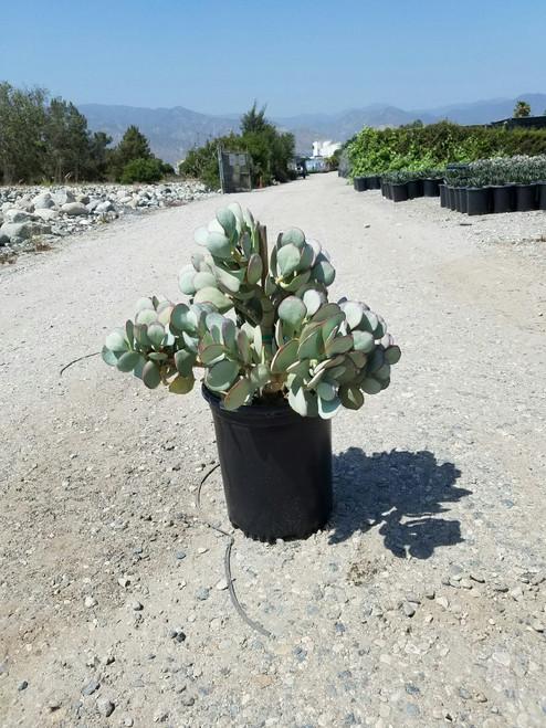 Crassula arborescens 5g
