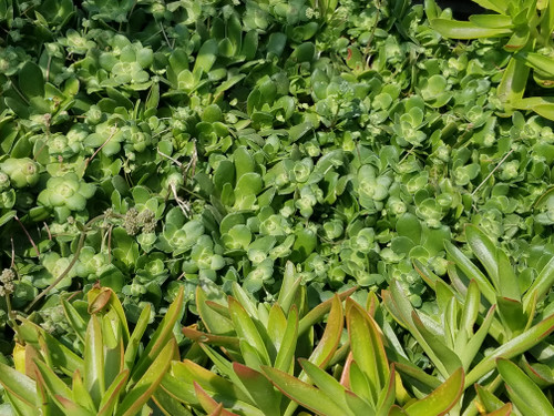 Crassula orbicularis 1g