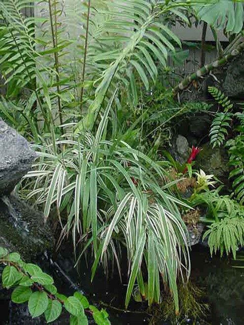Dianella tasmanica 'Variegata' 5g
