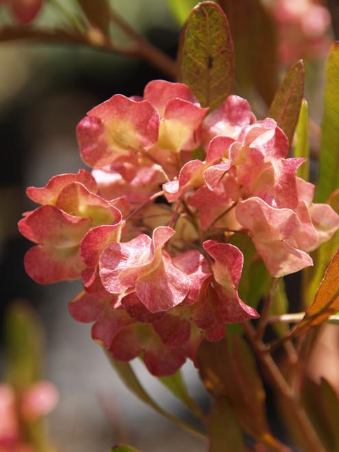 Dodonaea viscosa 'Purpurea' 1g