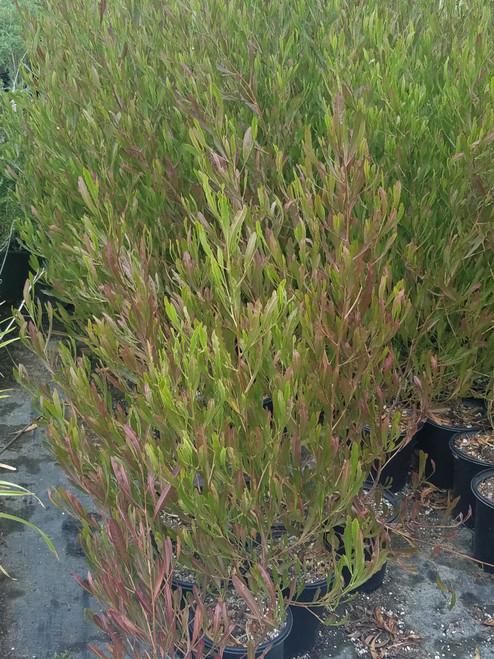 Dodonaea viscosa 'Purpurea' 5g