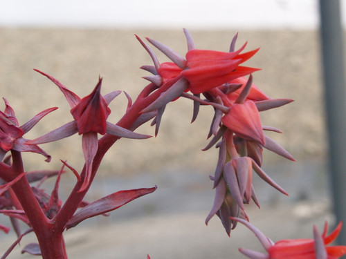 Echeveria 'Afterglow' 3g