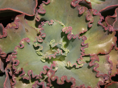 Echeveria x gibbiflora 3g