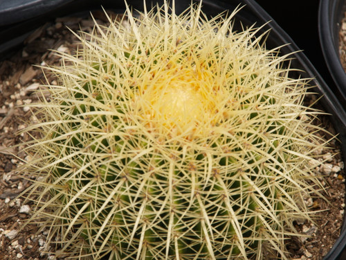 Echinocactus grusonii 5g