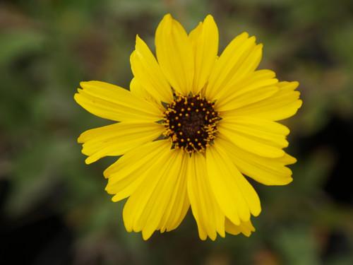 Encelia californica 'El Dorado' 1g
