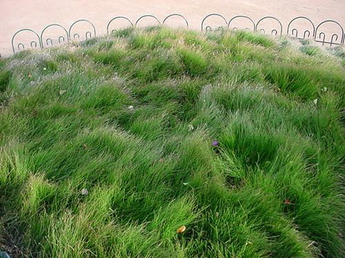 Equisetum scirpioides 1g