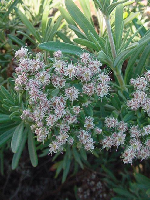 Eriogonum arborescens 1g
