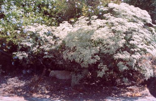 Eriogonum giganteum 1g