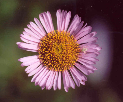 Erigeron glaucus 'Ron's Pink' 1g