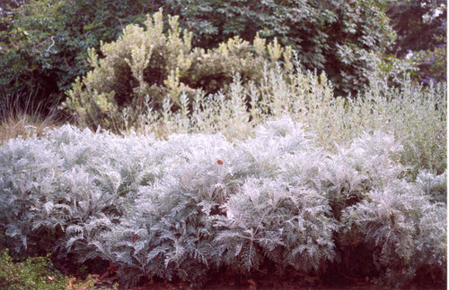 Eriophyllum nevinii 'Canyon Silver' 1g