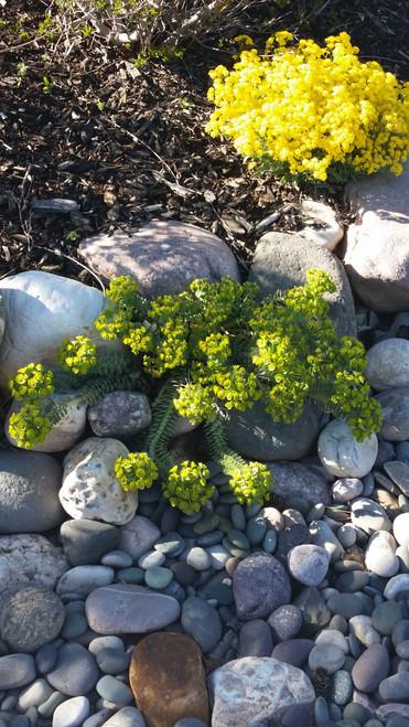 Euphorbia myrsinites 1g